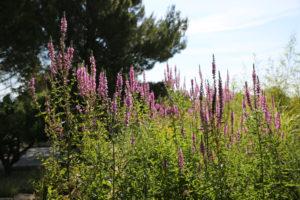 Plantes épuratrices - BlueSET