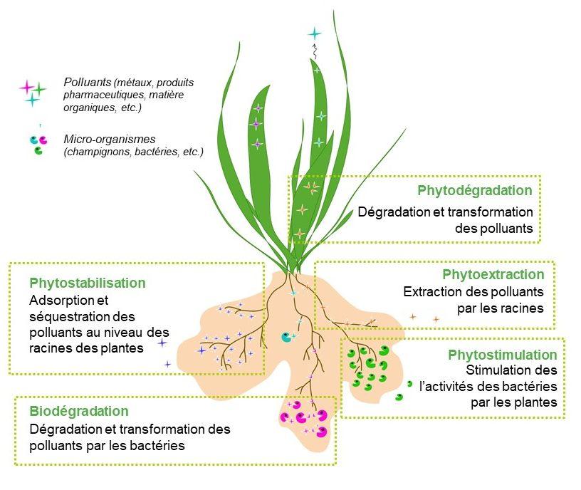 Le rôle de plantes et des bactéries dans la phytoépuration